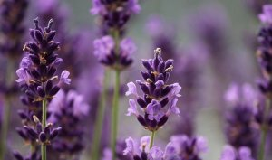 The Ambient History Of Lavender