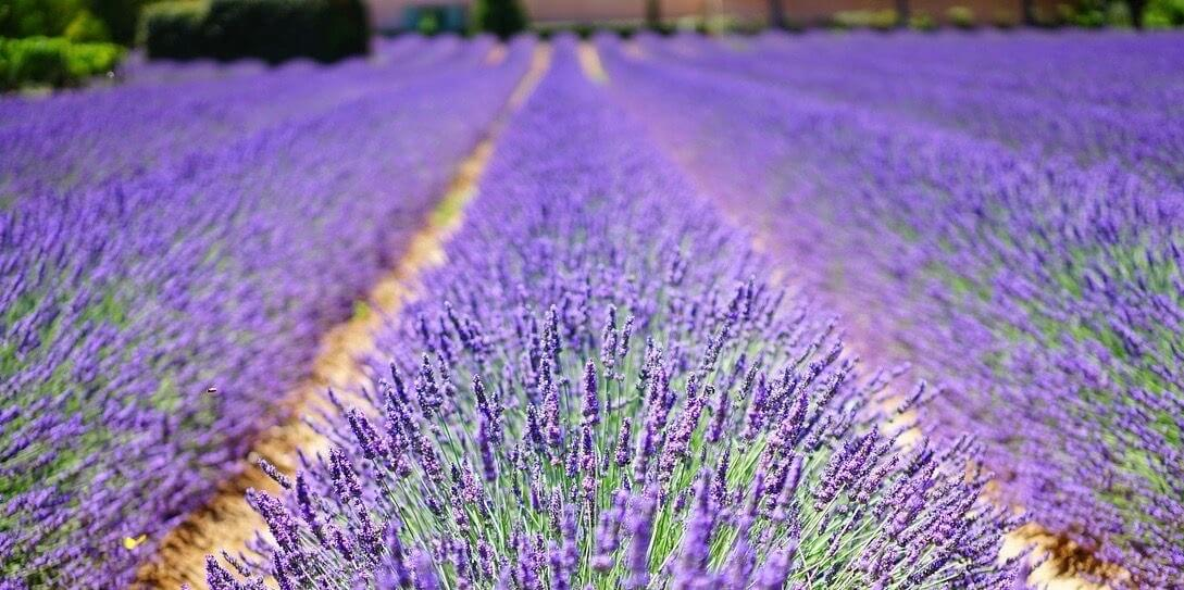 The Benefits Of Lavender When Diffused As Ambient Scent