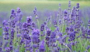 Lavender Ambient Scenting