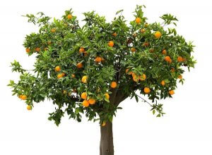 Orange Tree Is A Boon For Perfume Industry
