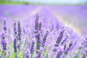 Calming Lavender Scent Hospitals